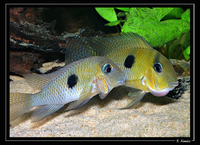 New World Cichlids fish : Festivum - New World Cichlids - Tropical Fish Forums